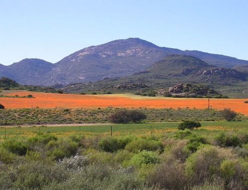 Spring Flowers Bloom on the Cape West Coast